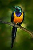 美丽的发光的鸟在绿色森林金黄breasted椋鸟科,国王的Cosmopsarus,金黄breasted椋鸟科里坐tr 免版税库存图片
