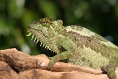 美丽的变色蜥蜴女性 免版税库存照片