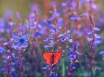 美丽的另外蝴蝶Polyommatus艾卡罗计是和飞行在明亮的草甸坐在晴朗的精美蓝色花 免版税图库摄影