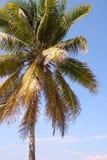 美丽的可可椰子树 免版税库存图片