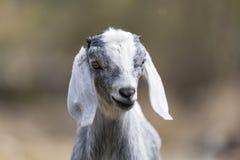 美丽的可爱宝贝山羊博克拉尼泊尔 免版税图库摄影