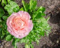 美丽的可爱的桃红色毛茛属或毛茛在百年公园,悉尼,澳大利亚开花 免版税库存图片