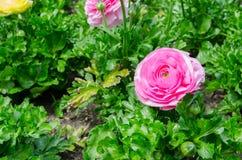 美丽的可爱的桃红色毛茛属或毛茛在百年公园,悉尼,澳大利亚开花 免版税库存照片