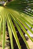 美丽的叶子棕榈树 图库摄影