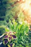 美丽的叶子植物:锦紫苏, canna,黄花菜,许多花与飞溅颜色在阳台或大阳台 免版税库存图片