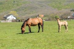 美丽的吃草马和一只小的驹 免版税库存照片
