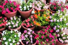 美丽的各种各样的开花的多彩多姿的Impatiens在骗局开花 免版税库存图片