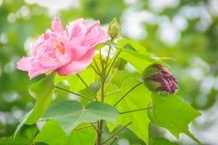 美丽的同盟玫瑰在绿色背景开花(木槿mutabilis),亦称同盟者起来了,迪克西rosemallow, 免版税库存照片