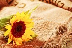美丽的向日葵在土气背景中 免版税库存照片