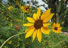 美丽的向日葵在好日子 免版税库存图片