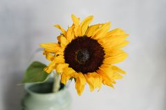 美丽的向日葵在桌上的一个花瓶开花 黄色花花束  家的装饰 墙纸和 图库摄影