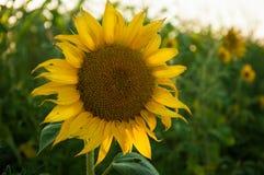 美丽的向日葵自然本底,在日落的阳光 免版税图库摄影