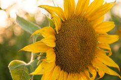 美丽的向日葵自然本底,在日落的阳光 免版税库存照片