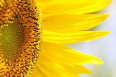 美丽的向日葵 库存照片