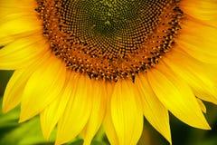 美丽的向日葵 库存图片
