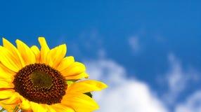美丽的向日葵 免版税库存图片