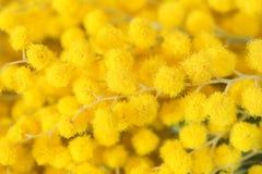 美丽的含羞草黄色花开花 8个看板卡eps文件招呼的包括的模板 浅深度 复制空间 分行明亮的开花的绿色本质春天结构树 免版税库存照片