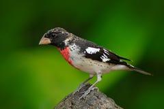美丽的唐纳雀在绿色栖所 罗斯breasted蜡嘴鸟, Pheucticus ludovicianus,异乎寻常的热带灰色和红色鸟形式COS 免版税库存照片