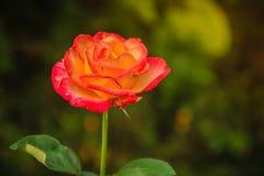 美丽的唯一在绿色分支的桔子玫瑰色花在加尔德角 库存照片