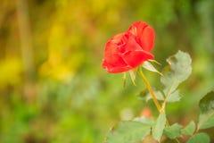 美丽的唯一在绿色分支的桔子玫瑰色花在加尔德角 库存图片