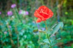 美丽的唯一在绿色分支的桔子玫瑰色花在加尔德角 免版税库存照片