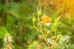 美丽的唯一在绿色分支的桔子玫瑰色花在加尔德角 免版税图库摄影