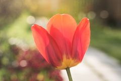 美丽的唯一红色郁金香花在庭院里 关闭 太阳亮光 库存照片