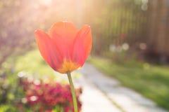 美丽的唯一红色郁金香花在庭院里 关闭 库存照片