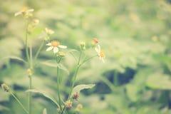美丽的唯一花草:Tridax procumbens或coatbuttons或者tridax雏菊葡萄酒样式 免版税库存照片