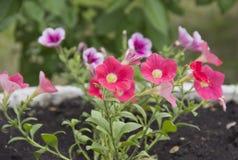 美丽的喇叭花花在花床上的阳光下 免版税库存图片