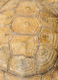 美丽的困难模式壳草龟 免版税图库摄影