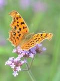 美丽的国君蝴蝶 免版税图库摄影