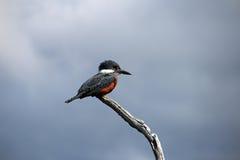美丽的圈状的翠鸟, megaceryle torquata,在树枝,火地群岛,巴塔哥尼亚,阿根廷 图库摄影