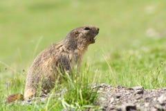 逗人喜爱的土拨鼠在阿尔卑斯 库存照片