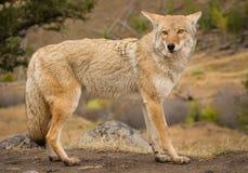 美丽的土狼在黄石国家公园 库存照片
