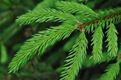 美丽的圣诞树枝杈 库存照片