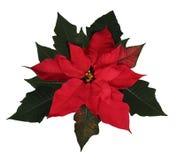 美丽的圣诞节一品红 库存图片