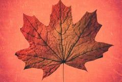 美丽的在一个桃红色背景艺术品特写镜头的秋天红色黄色加拿大槭树干燥叶子 库存照片