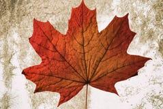 美丽的在一件轻的背景艺术品的秋天红色黄色加拿大槭树干燥叶子 免版税图库摄影