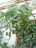 美丽的在使用的植物好的口味在alkohal 库存图片