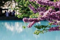 美丽的在树的桃红色紫荆中华的开花与模糊的看法蓝色都市水池 免版税库存图片