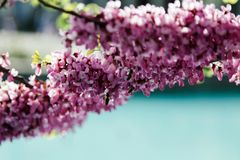美丽的在树的桃红色紫荆中华的开花与模糊的看法蓝色都市水池 免版税库存照片