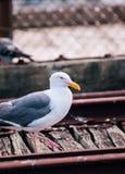 美丽的在码头39圣Francisc的海鸥白色和灰色羽毛 免版税库存图片
