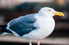 美丽的在码头39圣Francisc的海鸥白色和灰色羽毛 免版税库存照片