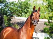 美丽的在自由的栗色阿拉伯马。 图库摄影