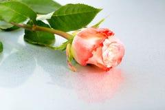 美丽的在轻的背景的桔子玫瑰色花与露水和稀土 免版税图库摄影