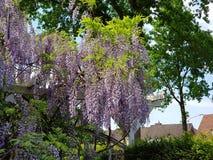 美丽的垂悬的紫色花在德国庭院欧洲里 免版税库存图片