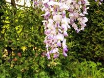 美丽的垂悬的紫色花在德国庭院欧洲里 库存照片