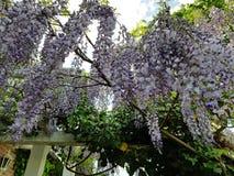 美丽的垂悬的紫色花在德国庭院欧洲里 免版税图库摄影
