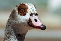 美丽的埃及鹅纵向 免版税图库摄影